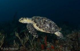 Hawksbill Turtle, Boca Raton, FL