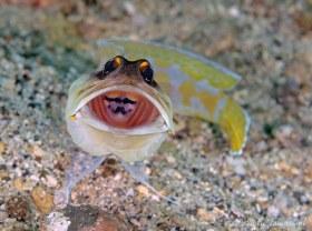 Yellowbarred Jawfish, Lembeh Strait, Indonesia