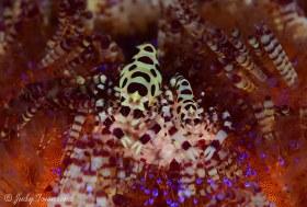 Coleman Shrimp, Lembeh Strait, Indonesia