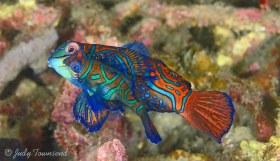 Mating Mandarinfish, Lembeh Strait, Indonesia