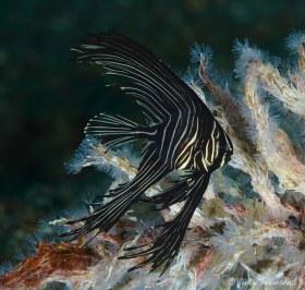 Batavia Spadefish, Juvenile, Lembeh Strait, Indonesia
