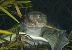Florida Softshell Turtle, Rainbow River, FL