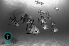 Curious Atlantic Spadefish following me around on this dive at Deep Water Cay in the Bahamas.
