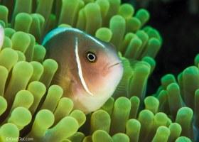 Anemonefish – Tenggol Island, Malaysia