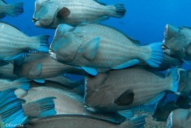 Bumphead Parrotfish – Sipadan, Malaysia