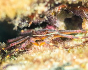 Nimble Spray Crab – Hollywood, FL