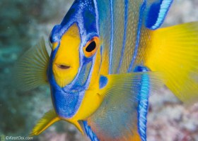 Juvenile Queen Angelfish – Hollywood, FL