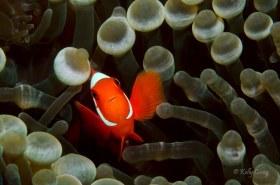 Spinecheck Anemonefish, Indonesia