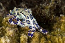 Blue Ring Octopus, Anilao, Philippines