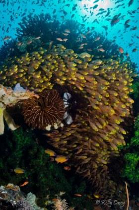 Glassy Sweepers against seamount, Halamahera Sea