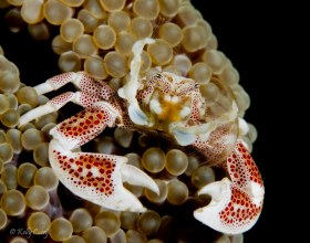 Spotted Porcelain Crab, Anilao, Philippines