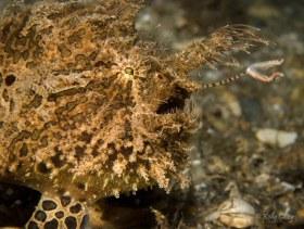 Striated Frogfish, Lake Worth Lagoon, FL