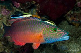 Linedcheeked Wrasse with two Bluestreak Cleaner Wrasse, Anilao, Philippines