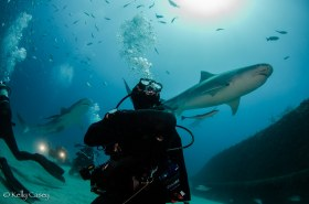 Diver with Tiger Sharks - Photographed in Jupiter, Florida
