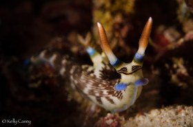 Lined Nembrotha Nudibranch - Photographed near Flores, Indonesia