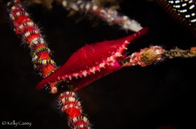 Rosy Spindle Cowrie - Photographed in Bali, Indonesia