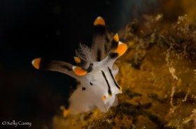 Thecacera Nudibranch - Photographed in Lembeh Strait, Indonesia