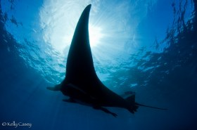Oceanic Manta Ray - Photographed in Revillagigedo Islands, Mexico