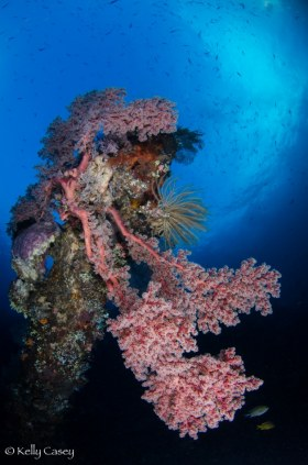 Soft Corals on Liberty Wreck - Photographed in Bali, Indonesia
