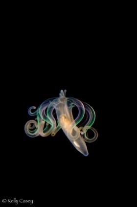 Larval Tube Dwelling Anemone - Photographed off Riviera Beach, Florida