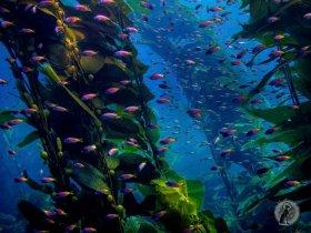 California Kelp Forest scene.