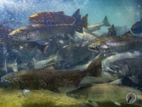 Chinook Salmon Migrating Upstream (Oncorhynchus tshawytscha).
