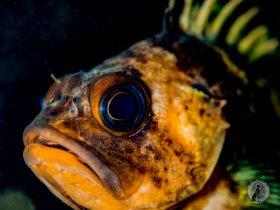 Quillback Rockfish (Sebastes maliger).