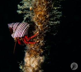 Hermit crab on kelp.