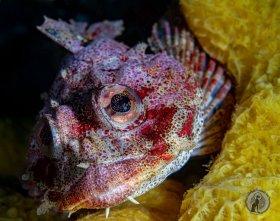 Red Irish Lord Portrait (Hemilepidotus hemilepidotus).