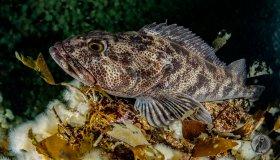 Ling Cod (Ophiodon elongatus) Resting.