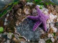 Purple Ochre Starfish (Pisaster ochraceus) on Wall.
