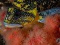 China Rockfish in Sea Strawberries (Sebastes nebulosus ).
