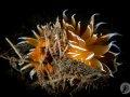Golden Dirona Nudibranch.