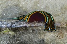 Chelidonura hirundina from Lake Worth Lagoon. © Linda Ianniello, All Rights Reserved.