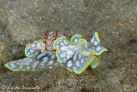 One of my favorite nudibranchs, Micromelo undatus, from the same family as the bubble shell. This colorful small nudibranch was found in the Lake Worth Lagoon. © Linda Ianniello, All Rights Reserved.