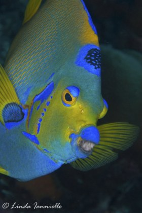 Queen angelfish with a mouthful of sponge, Holacanthus ciliaris, from Bonaire. © Linda Ianniello, All Rights Reserved.
