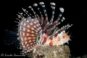 Lionfish from Lembeh Strait, Indonesia, posing for the camera. © Linda Ianniello, All Rights Reserved.