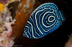 Juvenile emperor angelfish - Pomacanthus imperator. Photographed in Ambon, Indonesia.
