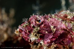 A common, colorful scorpionfish shot with shallow depth of field. Photographed in Ambon, Indonesia.