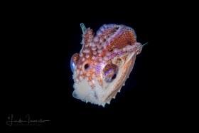 Paper Nautilus Pelagic Octopus - Argonaut – Female