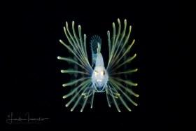 Lionfish Larva - Pterois sp.