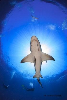 My recent diving addiction… sharks.  A lemon shark buzzes overhead on an absolutely stunning day !