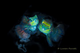 These poor mandarin fish can't get any privacy and no wonder, they put on quite a show !  The challenge with photographing them is not spooking them, getting them in focus facing you while releasing eggs.  It takes patience, a lot of shots and great timing !
