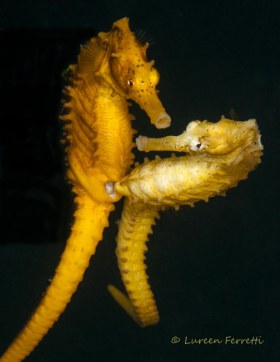 Love in the afternoon !  Having seen seahorses mate before, I immediately recognized the beginning of their ritual - it was only a matter of time.  I waited over an hour until they mated and managed to get the shot.  Notice the female, her attention was on me.  They're very vulnerable when mating.