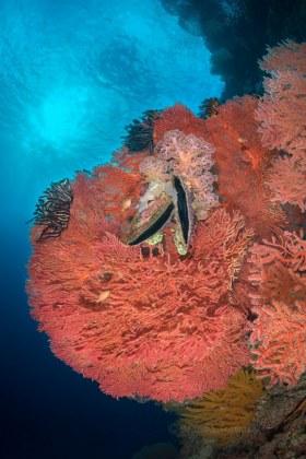 Great Ball of Fire, Solomon Islands