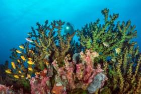 Mystery Diver, Solomon Islands