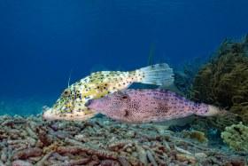 Ocean Love – Mating Scrawled Filefish, Bonaire