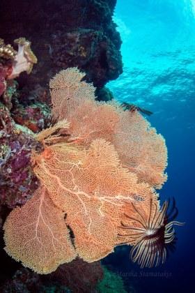 Sea Fan with Crinoids, Solomon Islands