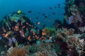 PG Reef with Anthias, Puerto Galera, Philippines