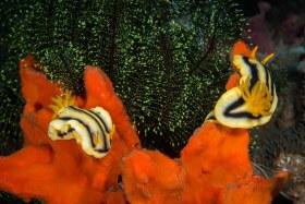 Chromadoris Joshi, Puerto Galera, Philippines